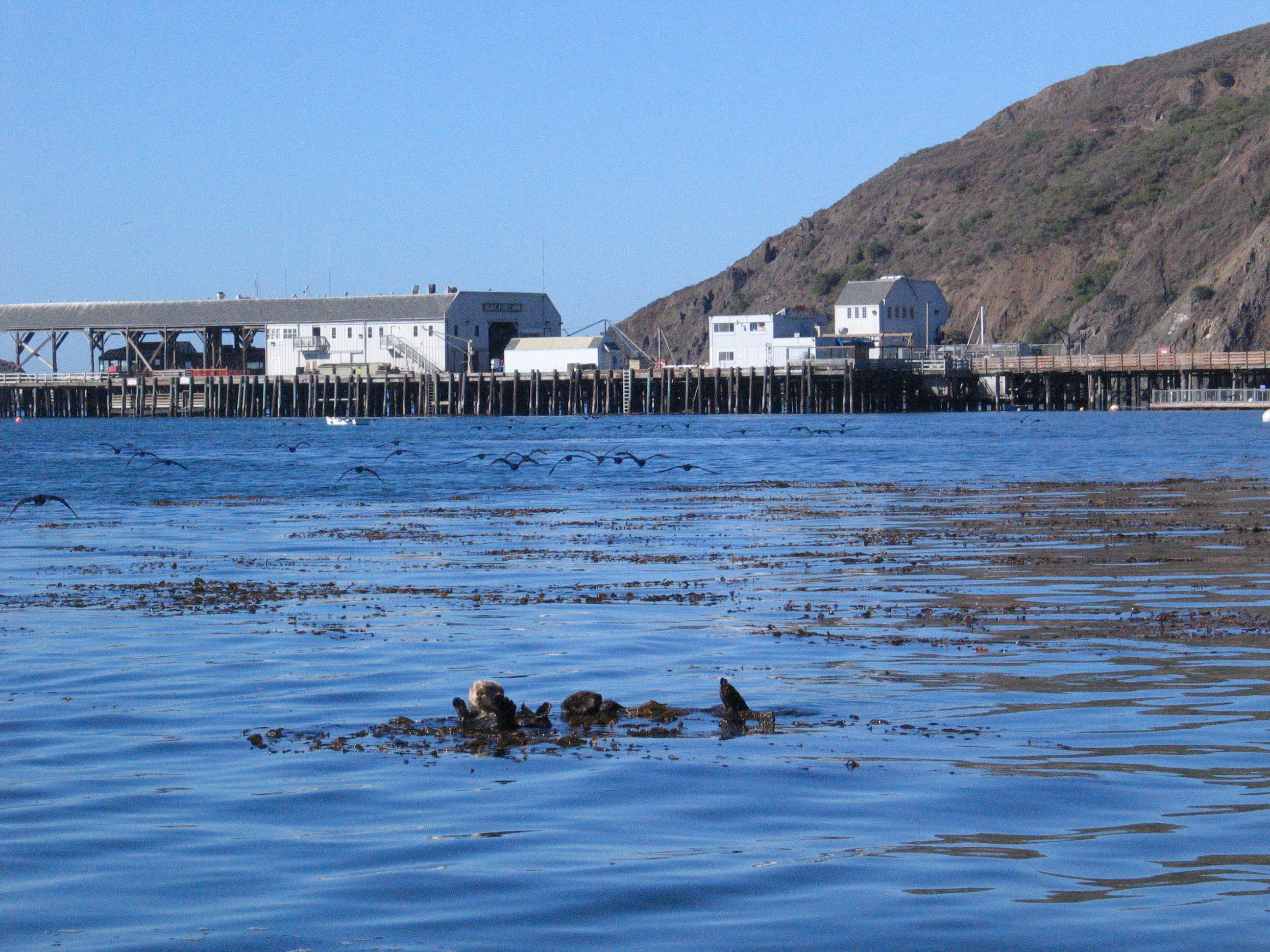 Otters at Port San Luis